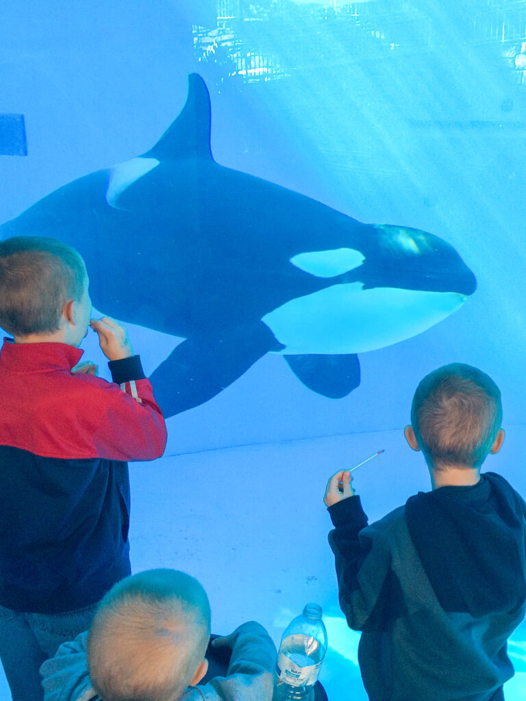 Three little boys looking at an orca in a tank.