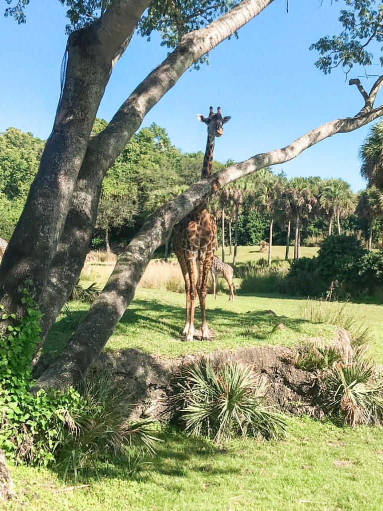 A giraffe seen from Kilimanjaro Safari at Disney's Animal Kingdom.